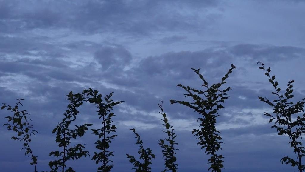 Avenbok mot mulen himmel