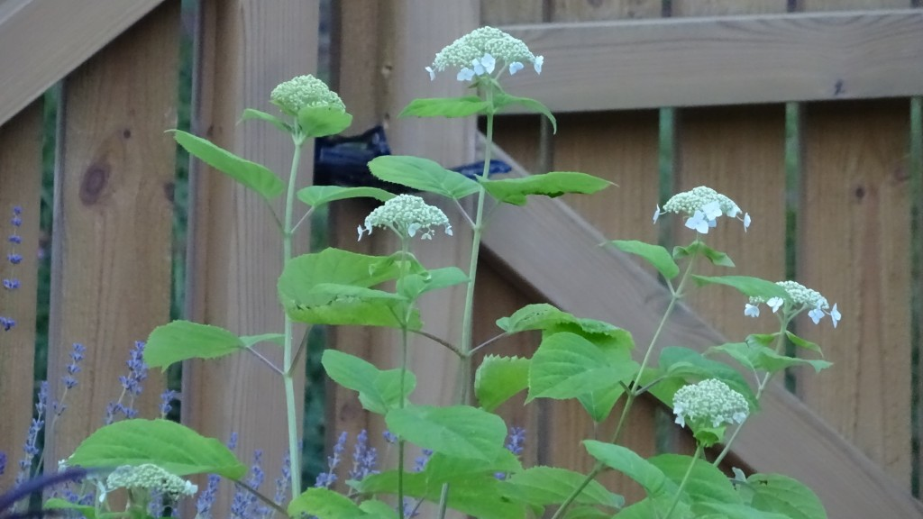 Hortensian vid staketet