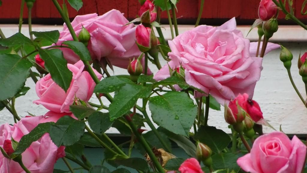 Rose Dawn - en fantstisk ros