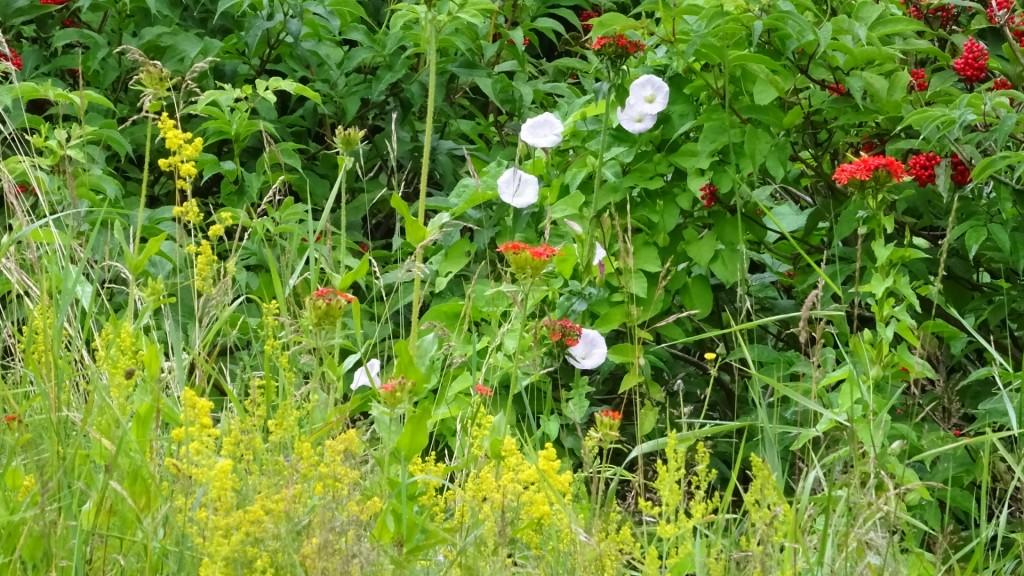 Ovanpå jordkällaren växer det gulmåra, vinda och lite allt möjligt