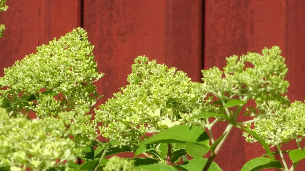Hösthortensian blommar varje år utan något som helst omhändertagande