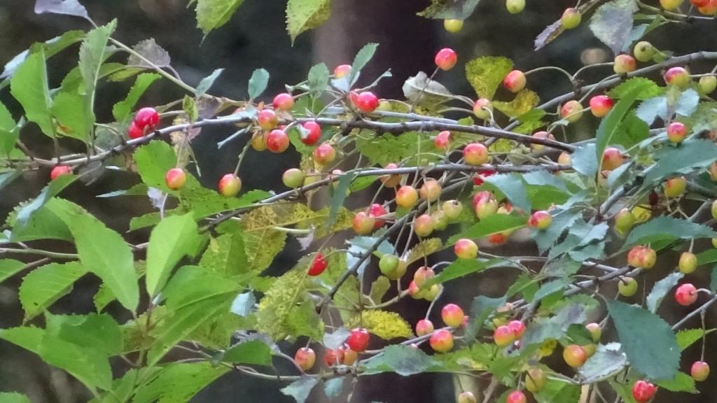 Massvis med körsbär - men så små