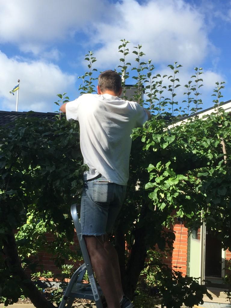 Sven klipper på sitt sätt! Vi kommer inte att få ett enda äpple nästa år!