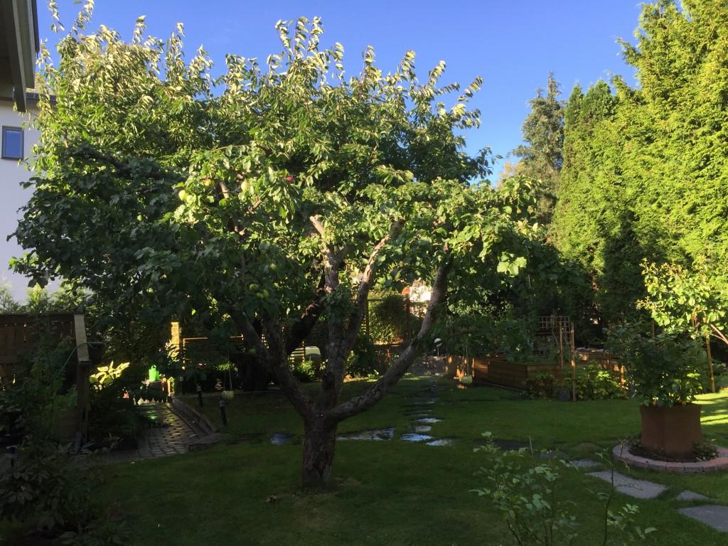 Det andra äppelträdet med körsbärsträdet i bakgrunden