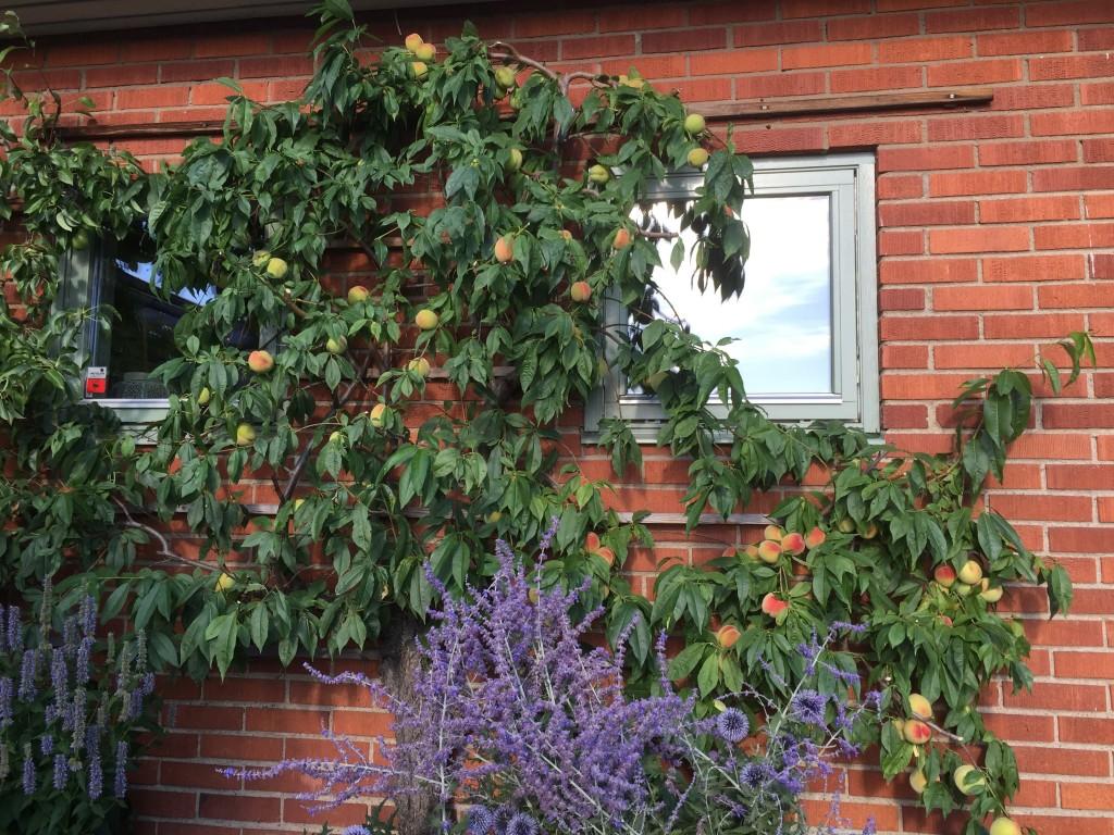 Persikoträdet är också klippt