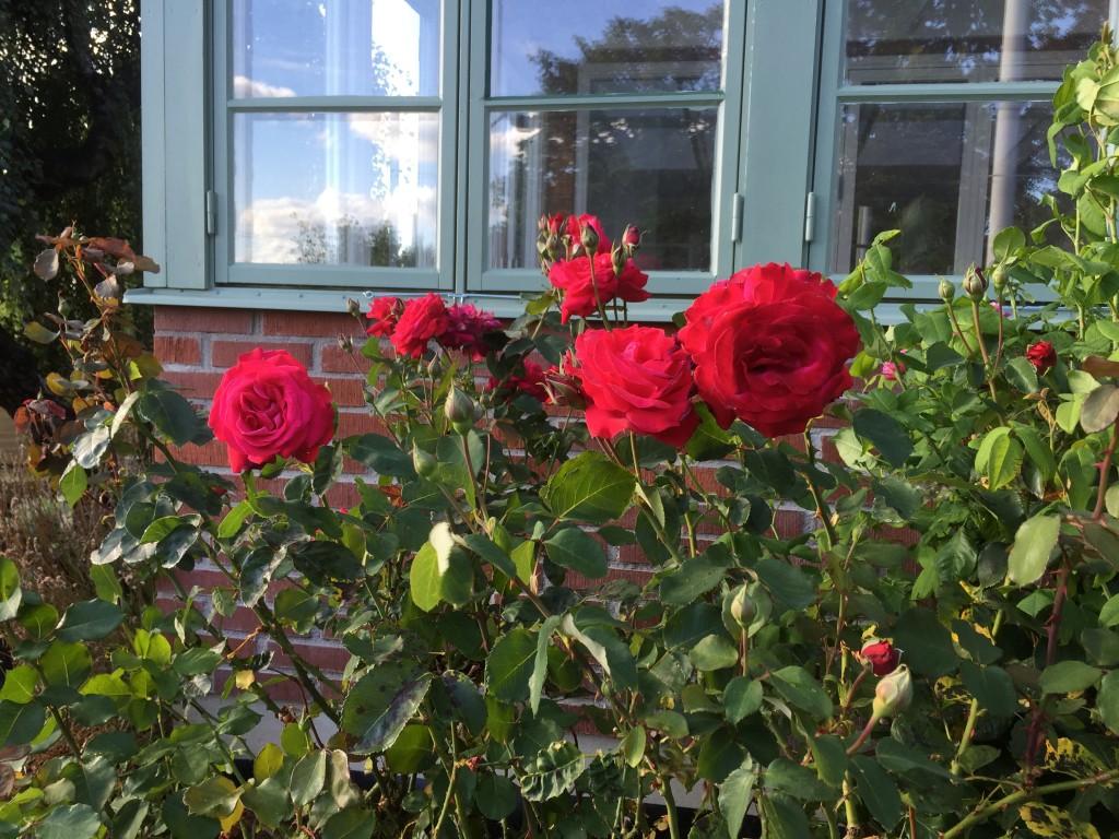 Och rosorna blommar en andra gång