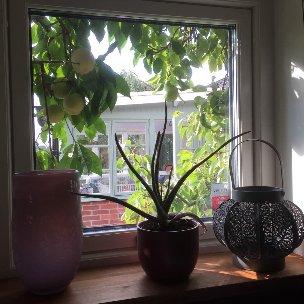 Aloe veran har fått ny jord
