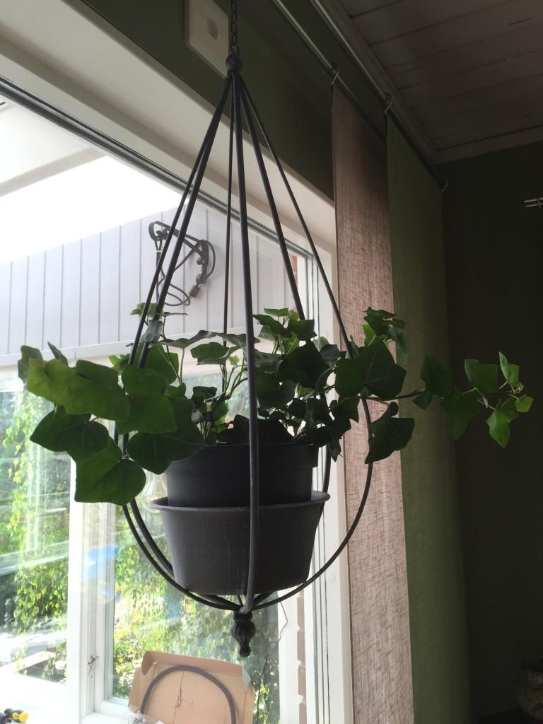 Den hängande murgrönsburen