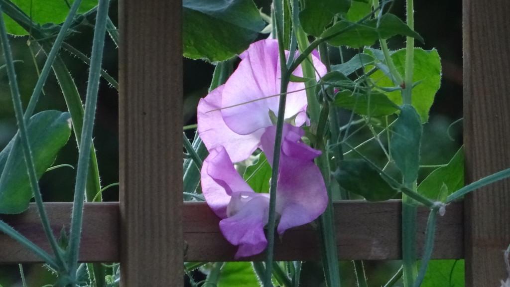Rosa luktärt